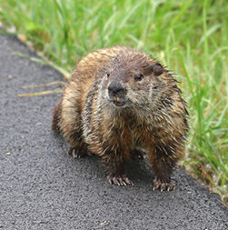 Groundhog Near Roadway
